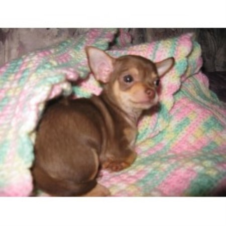 Tidwell Teacup & Toy Breeds, Yorkshire Terrier Breeder in West Plains ...