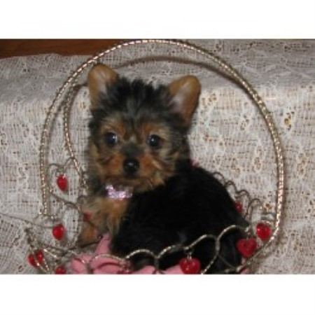 Yorkshire Terrier breeder West Plains 12679