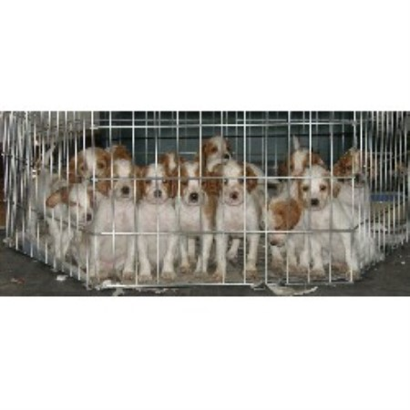 True Blue Acres, Irish Red And White Setter Breeder in New ...