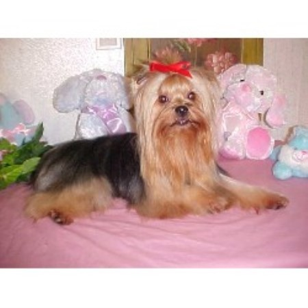 Yorkshire Terrier breeder Lawson 12695