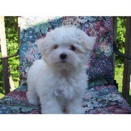 Maltese breeders in Minnesota | FreeDogListings