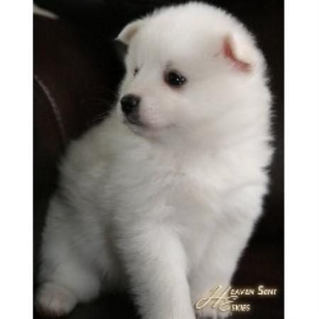 Heaven Sent Eskies, American Eskimo Dog Breeder in Pekin