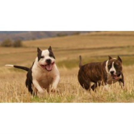 American Staffordshire Terrier Breeders in the USA and ...