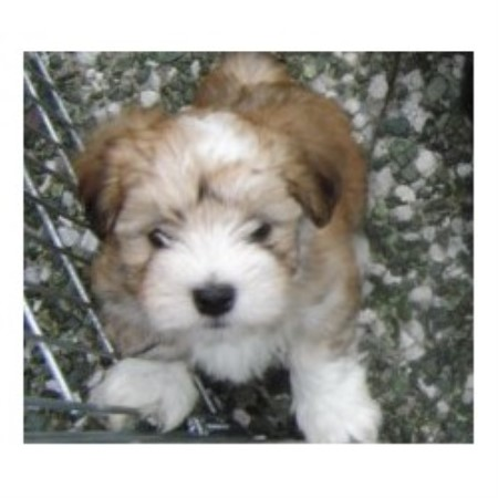 Highmoon Havanese Havanese Breeder In Auburn California