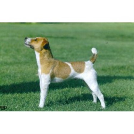 Wendover Terriers Jack Russell Terrier Stud In Sun City California