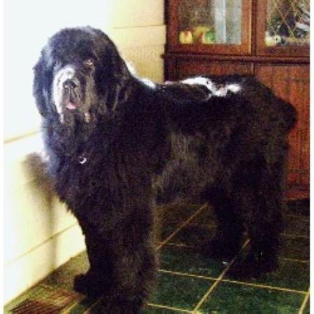 Newfoundland Dog Rescue Illinois