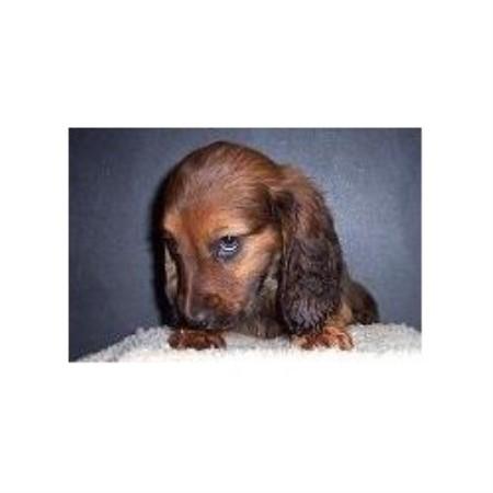 Ponderosa Pups Dachshund Kennel Dachshund Breeder In Burnside Kentucky