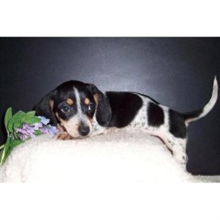 Dachshund breeder Burnside 13026