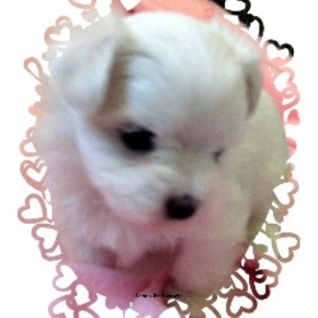 Maltese breeders and kennels freedoglistings page 7 for Tiny puppies that stay tiny for sale