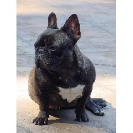 Adorable Frenchies French Bulldog Breeder In Leeds Alabama