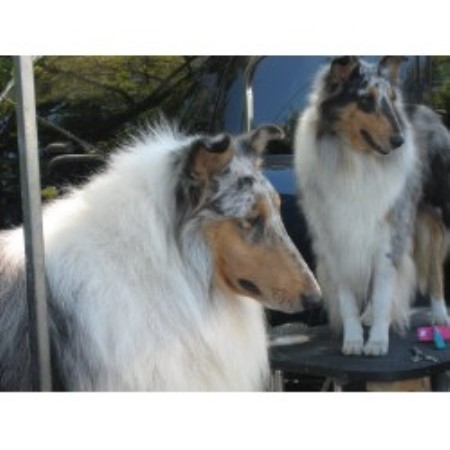 Jaclyns Classical Collies