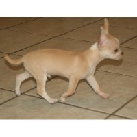 Chihuahua Breeders in Florida | FreeDogListings (Page 2)