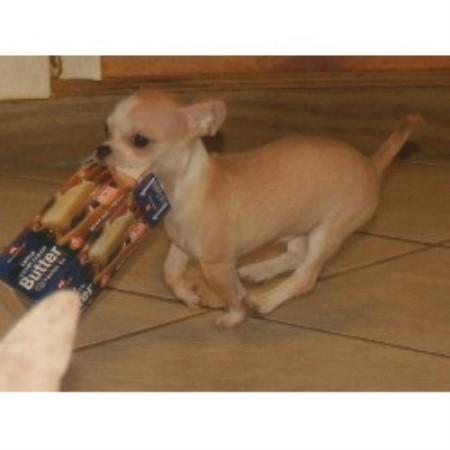 Heavensent Chihuahuas, Chihuahua Breeder in Hudson, Florida
