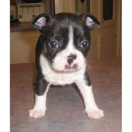 Boston Terrier breeder Lockhart 13079