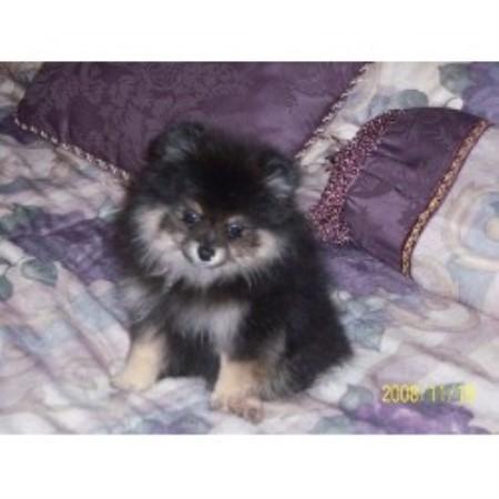 Casper Pomeranians Pomeranian Breeder In Leander Texas