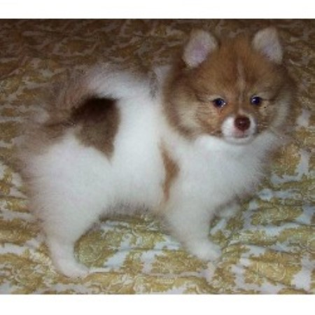 Casper Pomeranians, Pomeranian Breeder in Leander, Texas