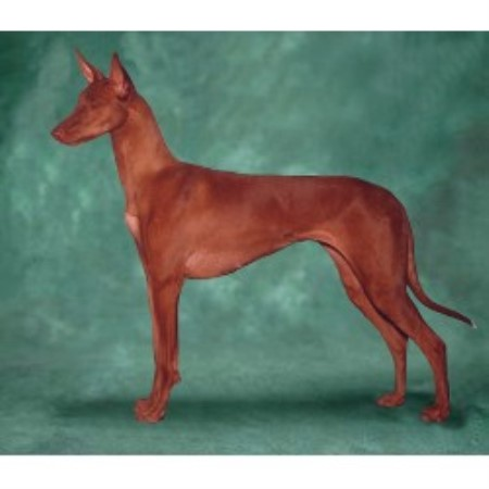 Pharaoh Hound breeder in Washougal