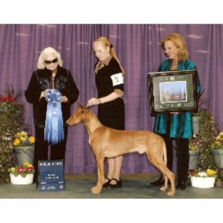Pharaoh Hound breeder in Washougal, Washington