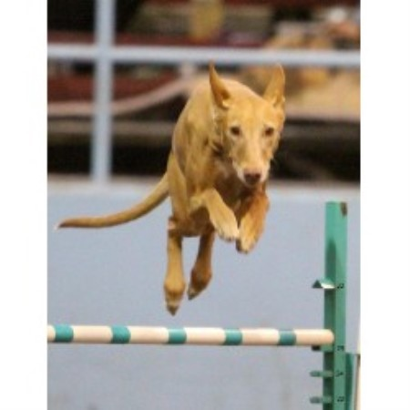 Pharaoh Hound breedering kennel in Washougal