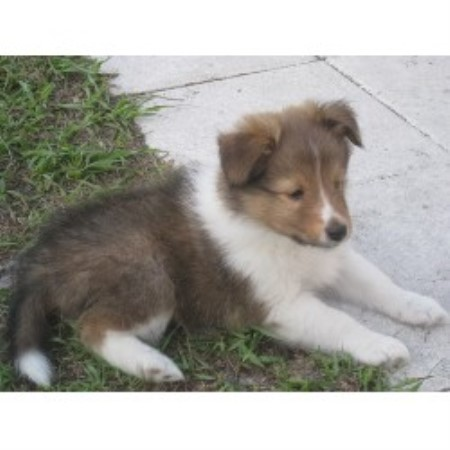 Younglove Shelties Shetland Sheepdog Breeder In Cocoa