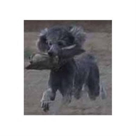 Harmony Mountain Hunting Pudels Poodle Standard Breeder In Phoenix Arizona