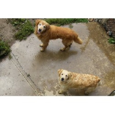 Golden Retriever breeder Oil City 13166