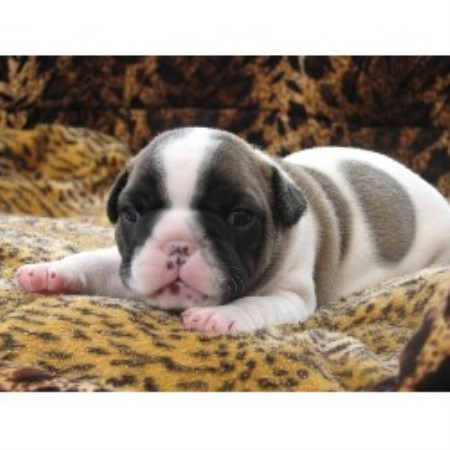 french bulldog adoption ma cape cod french bulldogs french bulldog breeder in 3283