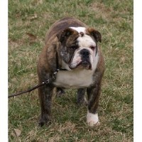 Aristocrat Bulldogs
