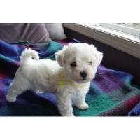 Weimaraner Puppies For Sale Vancouver Island
