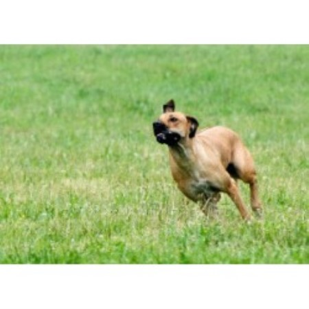 Rhodesian Ridgeback breeder in Florida