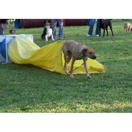 Rhodesian Ridgeback breeder in Riverview