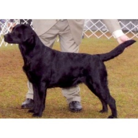 Labrador Retriever breeder Deland 13432