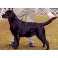 Impulse Labrador Retrievers