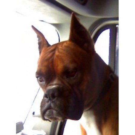 Boxer breeder Lake City 13446