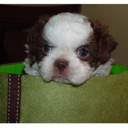 Sweet Cute And Cuddly Shih Tzu Pups Shih Tzu Breeder In