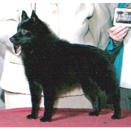 Barbil Schipperkes Schipperke Breeder In Elizabeth Colorado