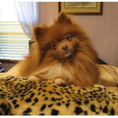 Pomeranian breeder in Alabama