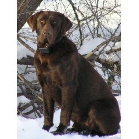 Labrador Retriever breeder in Washington