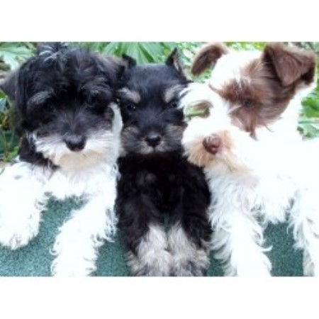 Welsh Terrier Rescue Florida Texas T's Toy Schnauze...