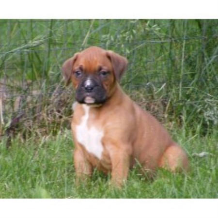 Boxer breeder Long Lake 13623