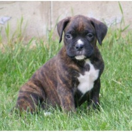 Boxer Puppies For Sale In Louisiana >> Northwoods Boxers, Boxer Breeder in Long Lake, Wisconsin