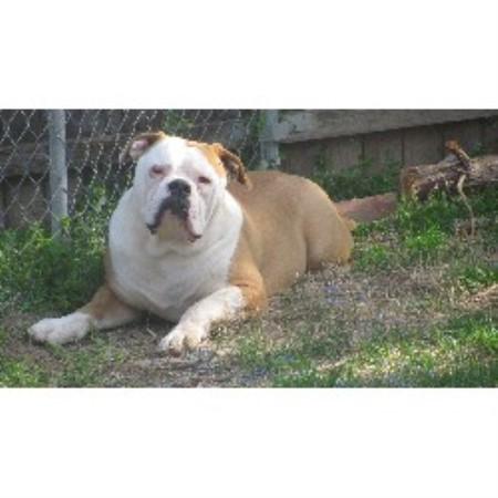 Buff Bullies American Bulldogs American Bulldog Breeder In