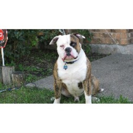 Buff Bullies American Bulldogs American Bulldog Breeder In Cedar