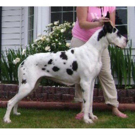 Great Dane breeder in Vancouver, Washington
