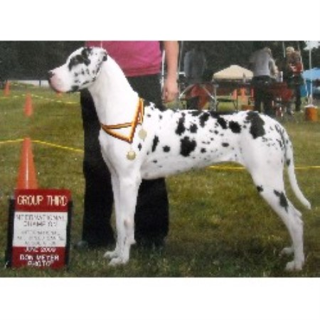 Great Dane breeder in Washington