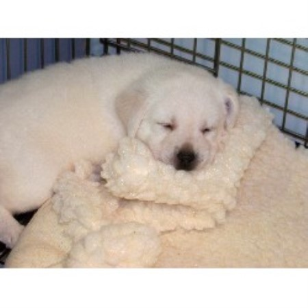 Labrador Retriever breeder Burlington 13677
