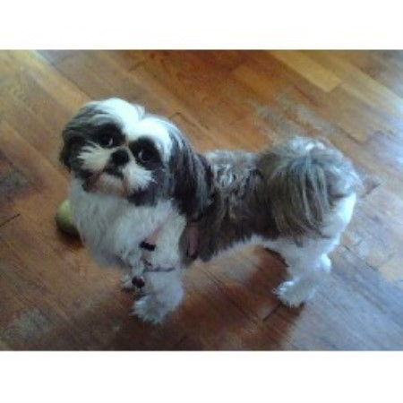 Peggys Precious Pups Shih Tzu Breeder In Pittsburgh Pennsylvania