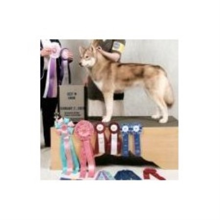 Siberian Husky breeder Whitewater 13687