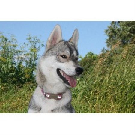 Aoi Kita Kaze Siberians Siberian Husky Breeder In