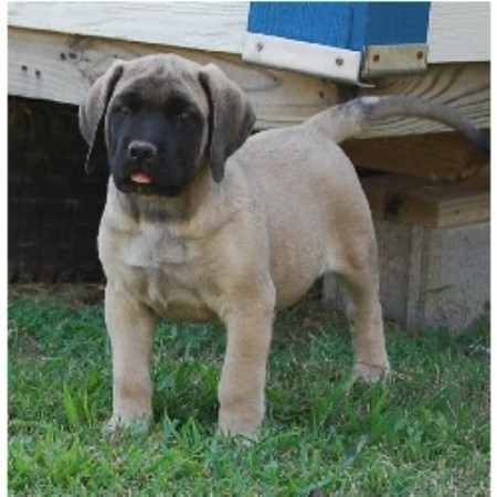 Lil Foot Mastiffs Mastiff Breeder In Shelby North Carolina